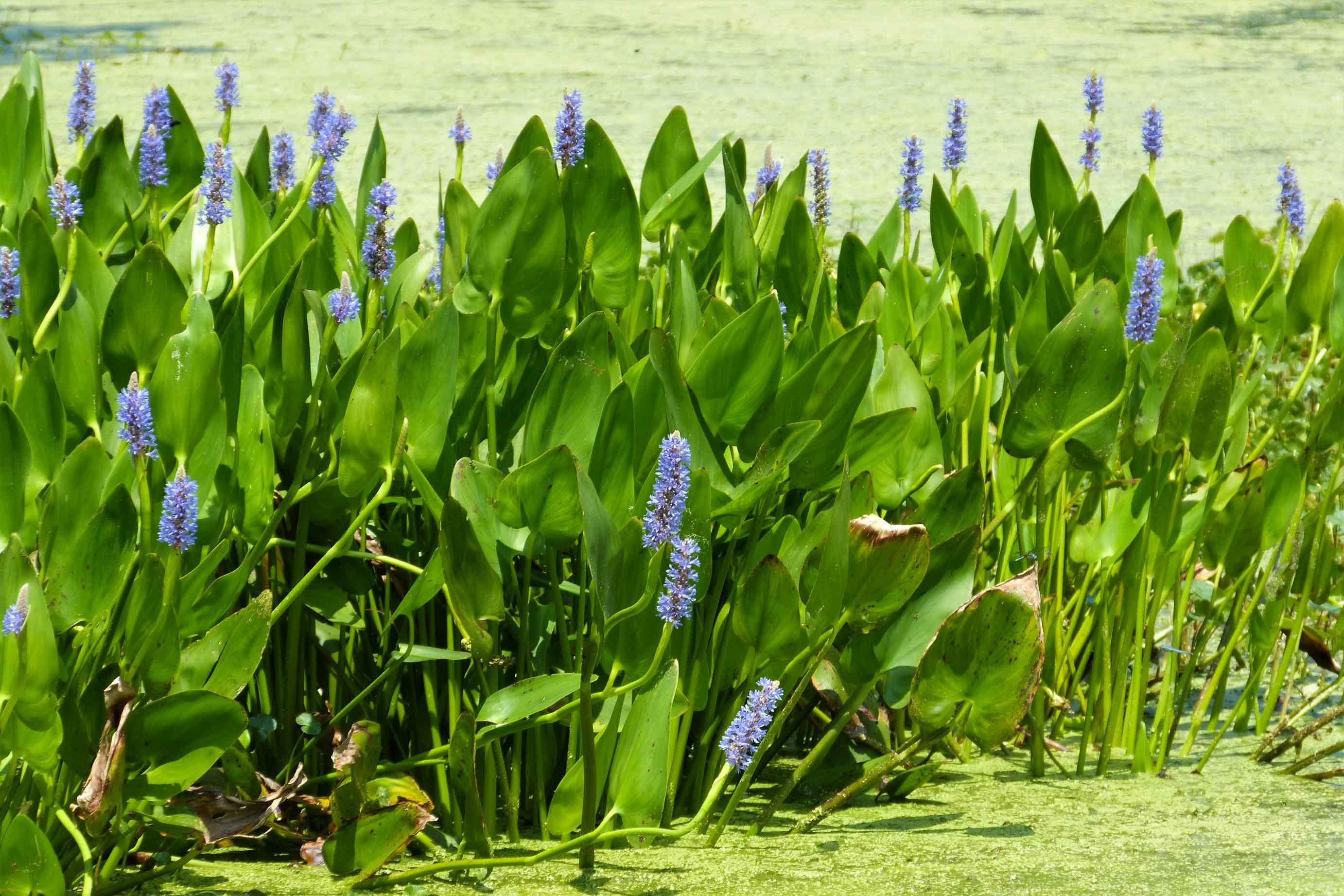 plantas-acuáticas